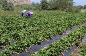Yesilirmak | Strawberry Fields
