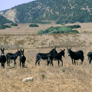 Karpaz Donkeys